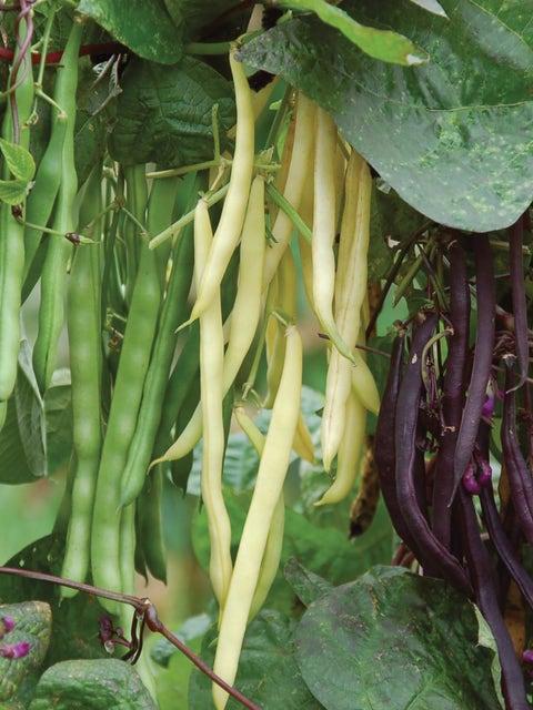 Bean, Pole, Tri-color Blend