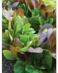 Lettuce, All Season Romaine Blend