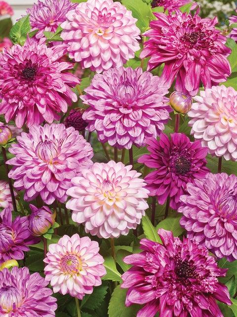 Dahlia, Pink Flamboyance Collection