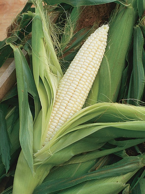 Corn, Silver Queen Hybrid