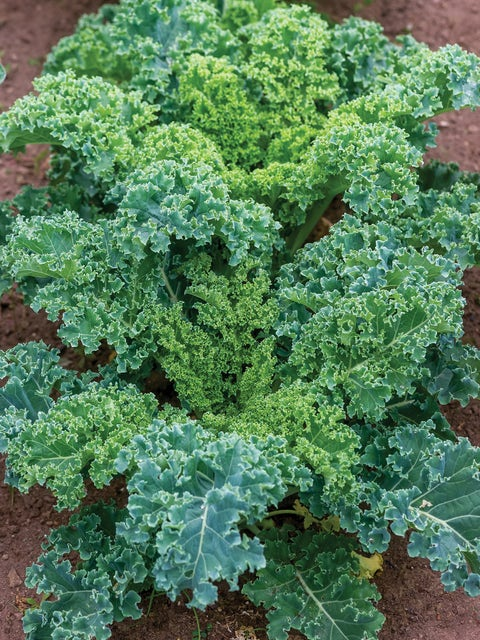 Kale, Dwarf Blue Curled Vates