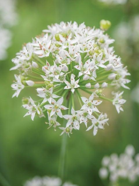 Chives, Garlic Organic