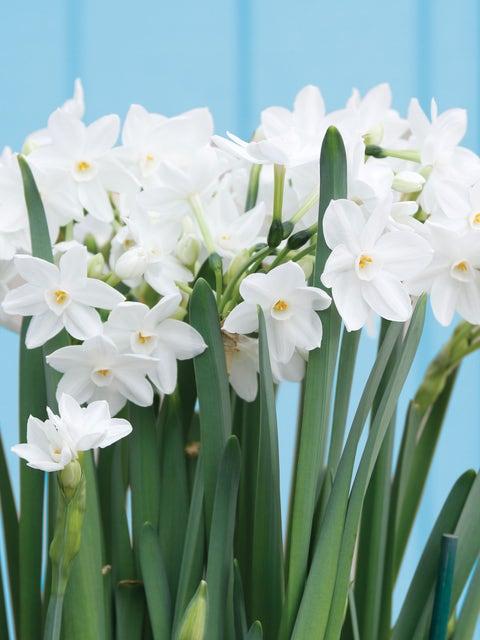 Narcissus, Paperwhite Inbal