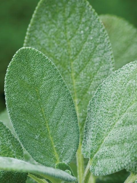 Sage, Broad Leaf