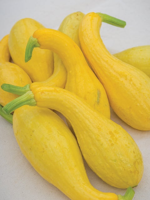 Squash, Early Summer Crookneck