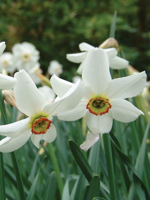 Daffodil, Pheasant's Eye