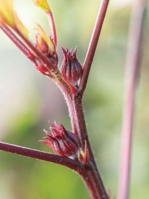 Hibiscus sabdariffa, Roselle