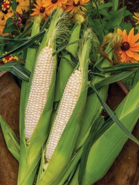 Corn, Amaize Hybrid