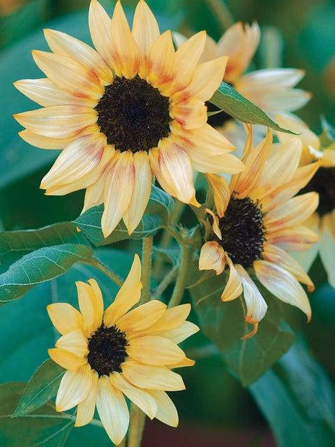 Sunflower, Bashful