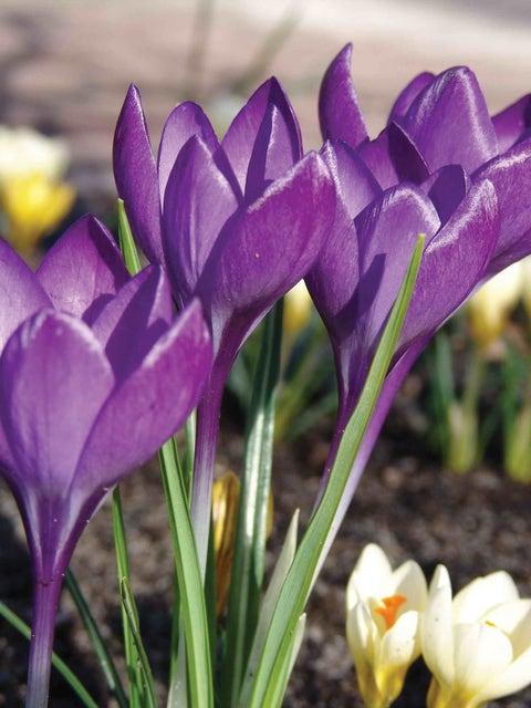 Crocus tommasinianus, Barrs Purple