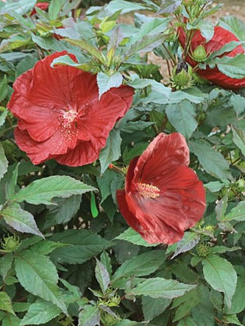 Hibiscus, Summerific® Cranberry Crush
