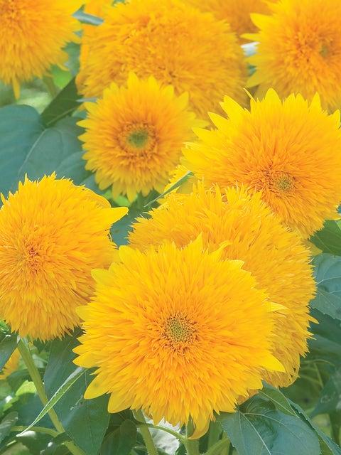 Sunflower, Teddy Bear