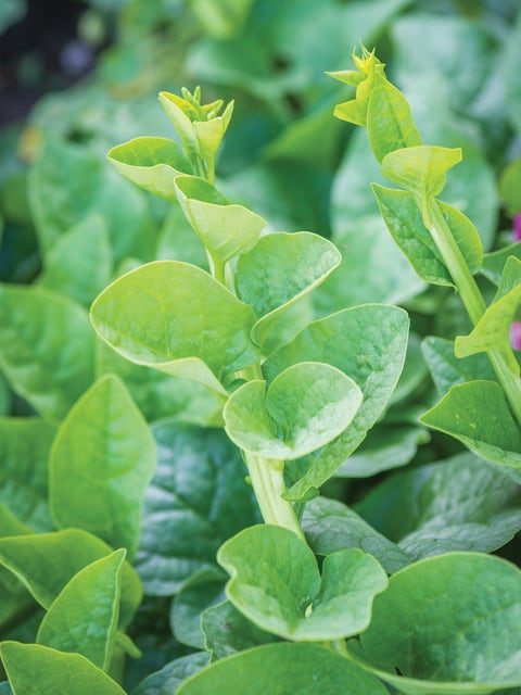 Malabar Spinach, Green Stem