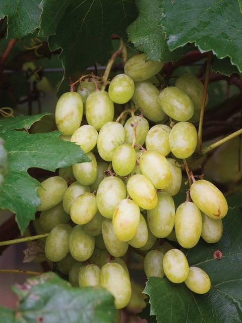 Grape, Neptune PP 12,302
