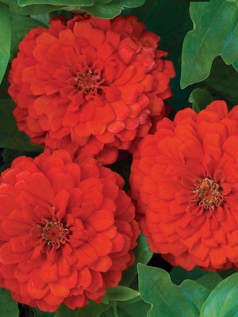 Zinnia, Big Red