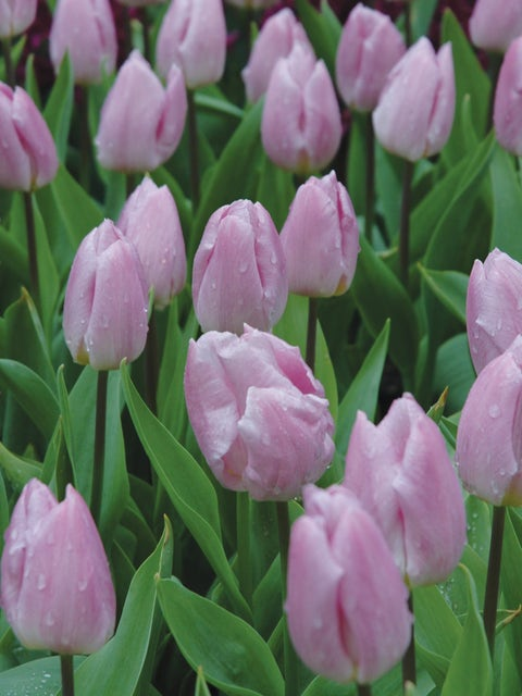 Tulip, Candy Prince