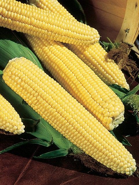 Corn, Northern Xtra-Sweet Hybrid