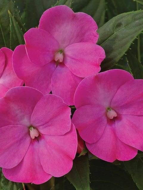 Impatiens, SunPatiens Lilac