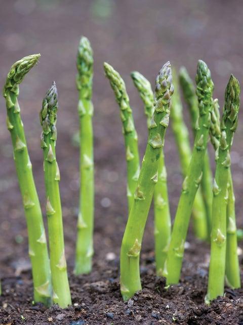 Asparagus, Mary Washington