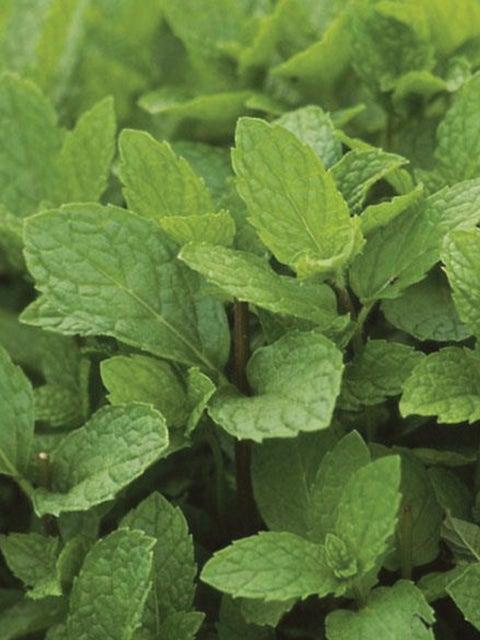 Herb, Mint Kentucky  Colonel