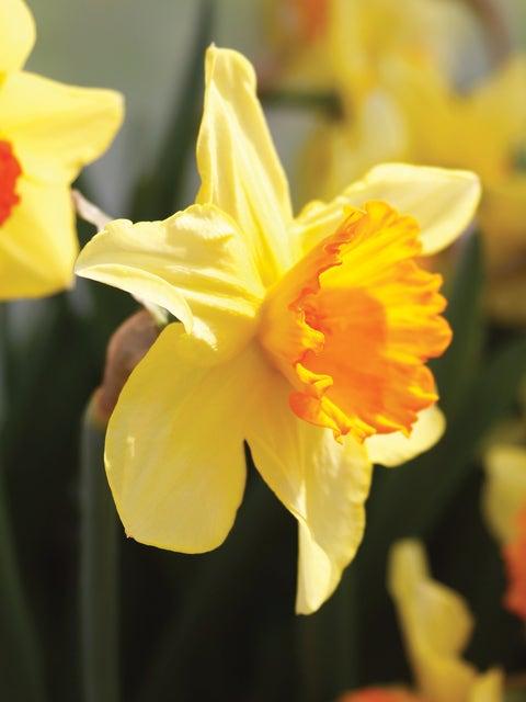 Daffodil, Glen Clova