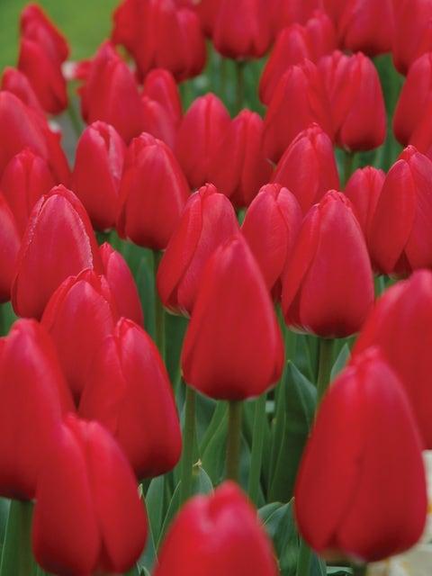 Tulip, Cherry Delight