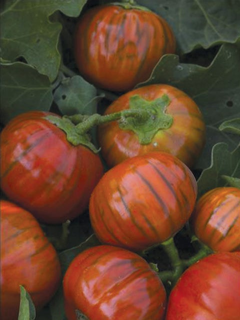 Eggplant, Turkish Orange