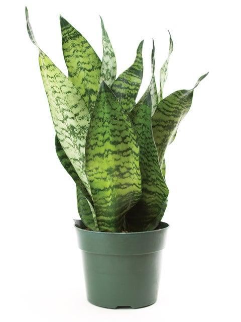 Sansevieria (Snake Plant), Superba