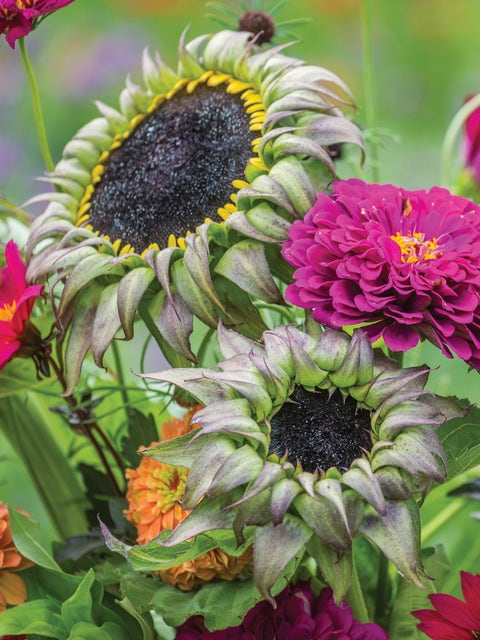 Sunflower, Sun-Fill Purple Hybrid