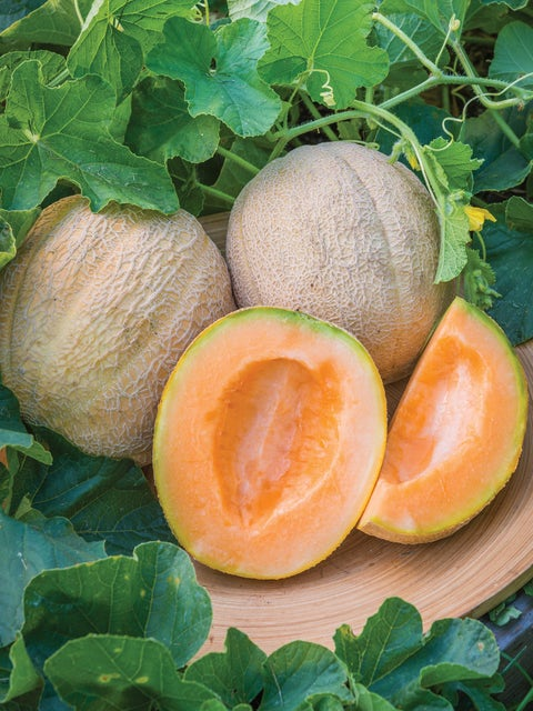 Cantaloupe, Burpees Hybrid