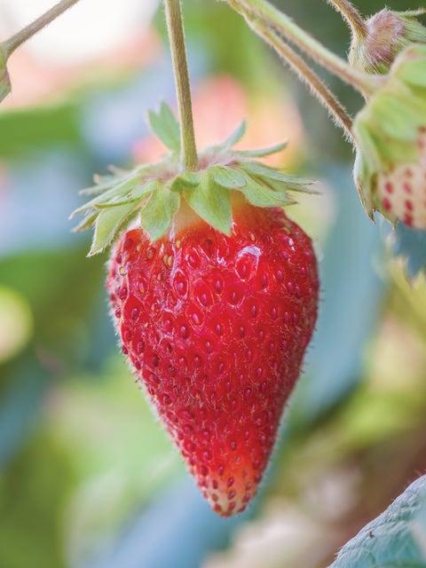 Strawberry, Toscana