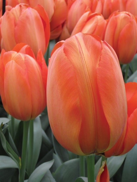 Tulip, Orange Balloon