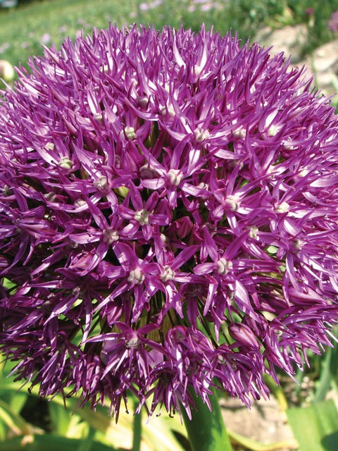Allium, Pinball Wizard