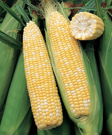 Corn, Ambrosia Hybrid