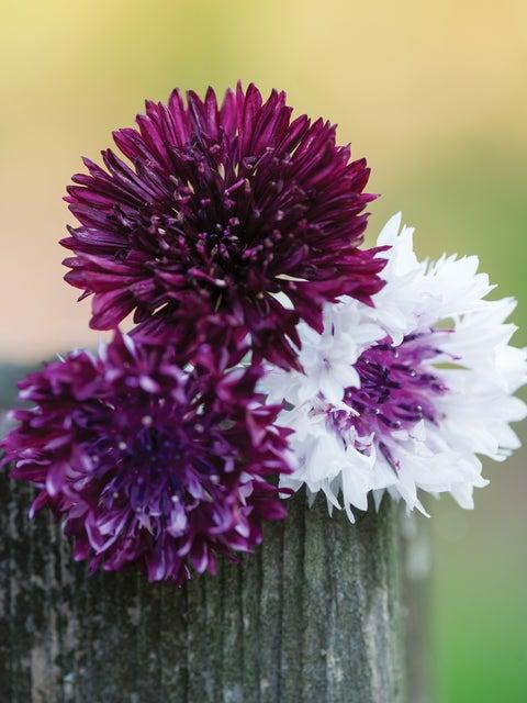 Cornflower, Burgundy Beauties Mix