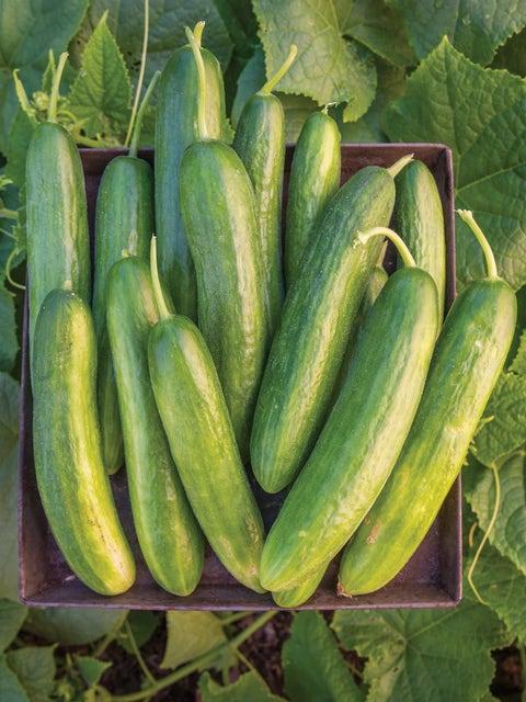 Cucumber, Lunchbox Hybrid