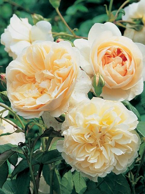English Rose, Lichfield Angel