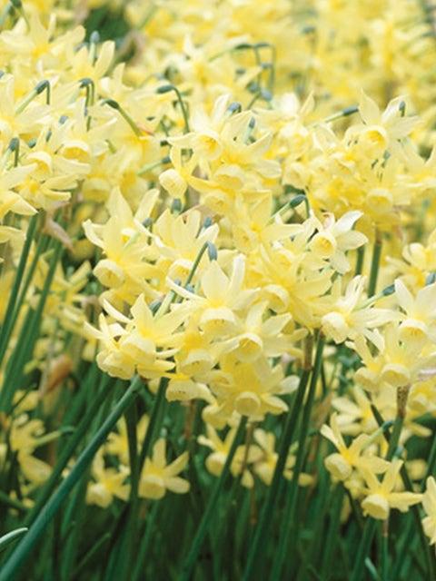 Daffodil, Hawera