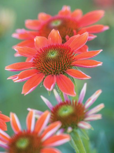 Echinacea Sombrero® Flamenco Orange