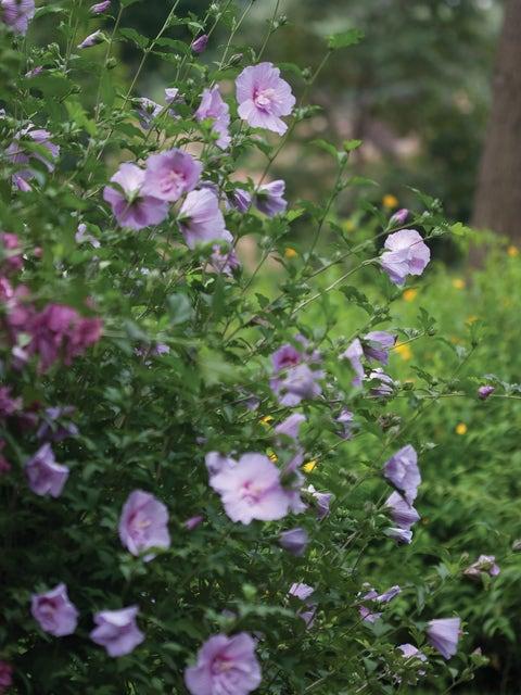 Hibiscus, Lavender Chiffon