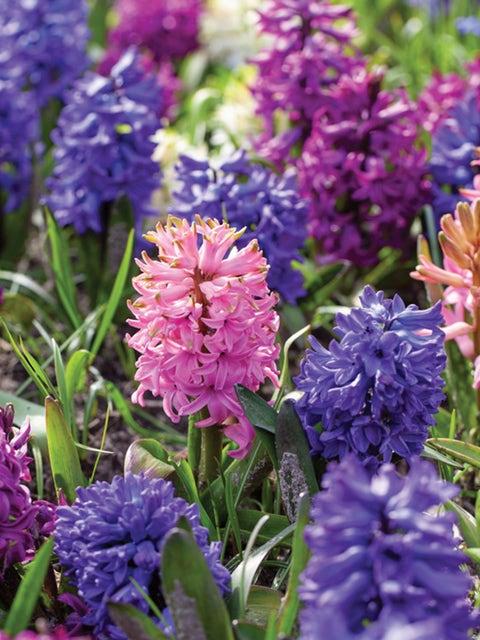 Hyacinth, Sensation Mix
