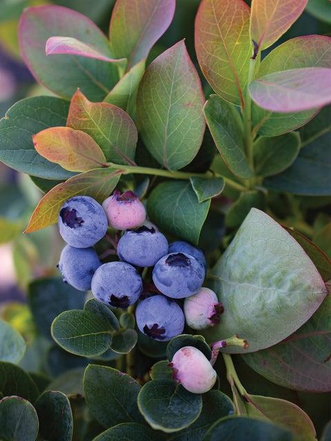Blueberry, Silver Dollar