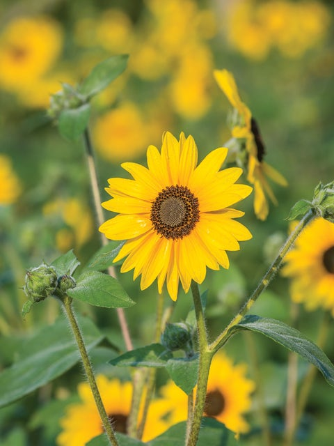 Sunflower, Sunfinity Hybrid