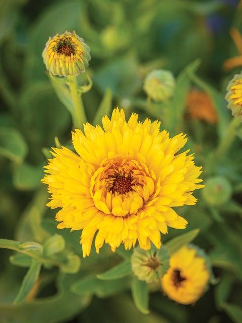 Calendula, Calexis Yellow