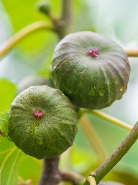 Fig, Violette de Bordeaux