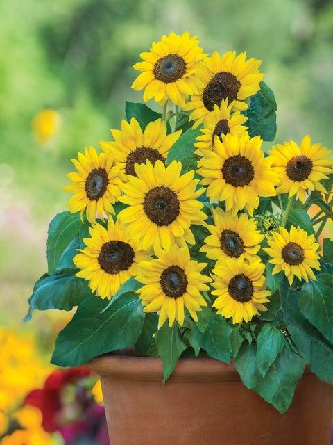 Sunflower, Sunray Yellow Hybrid