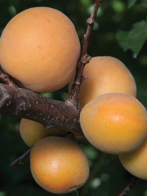 Apricot, Canadian White Blenheim