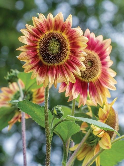 Sunflower, Candy Mountain Hybrid