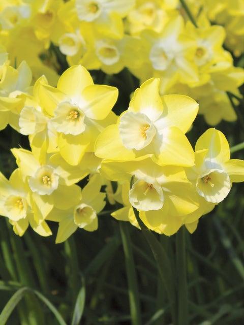 Daffodil, Regeneration