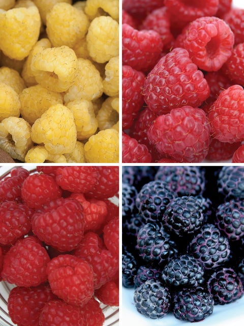 Raspberry, Tricolor Collection